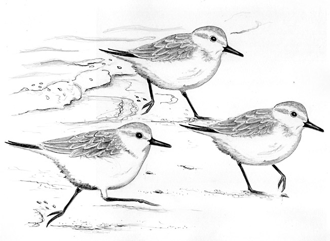 Sanderlings on beach by Catherine Clark - CatherineClarkStudio.com